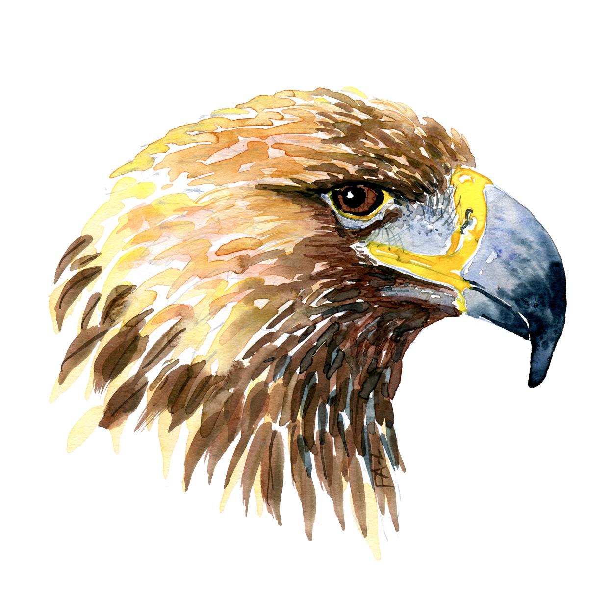 Kongeoern hoved fugle akvarel af Frits Ahlefeldt, Biodiversitet i Danmark illustration