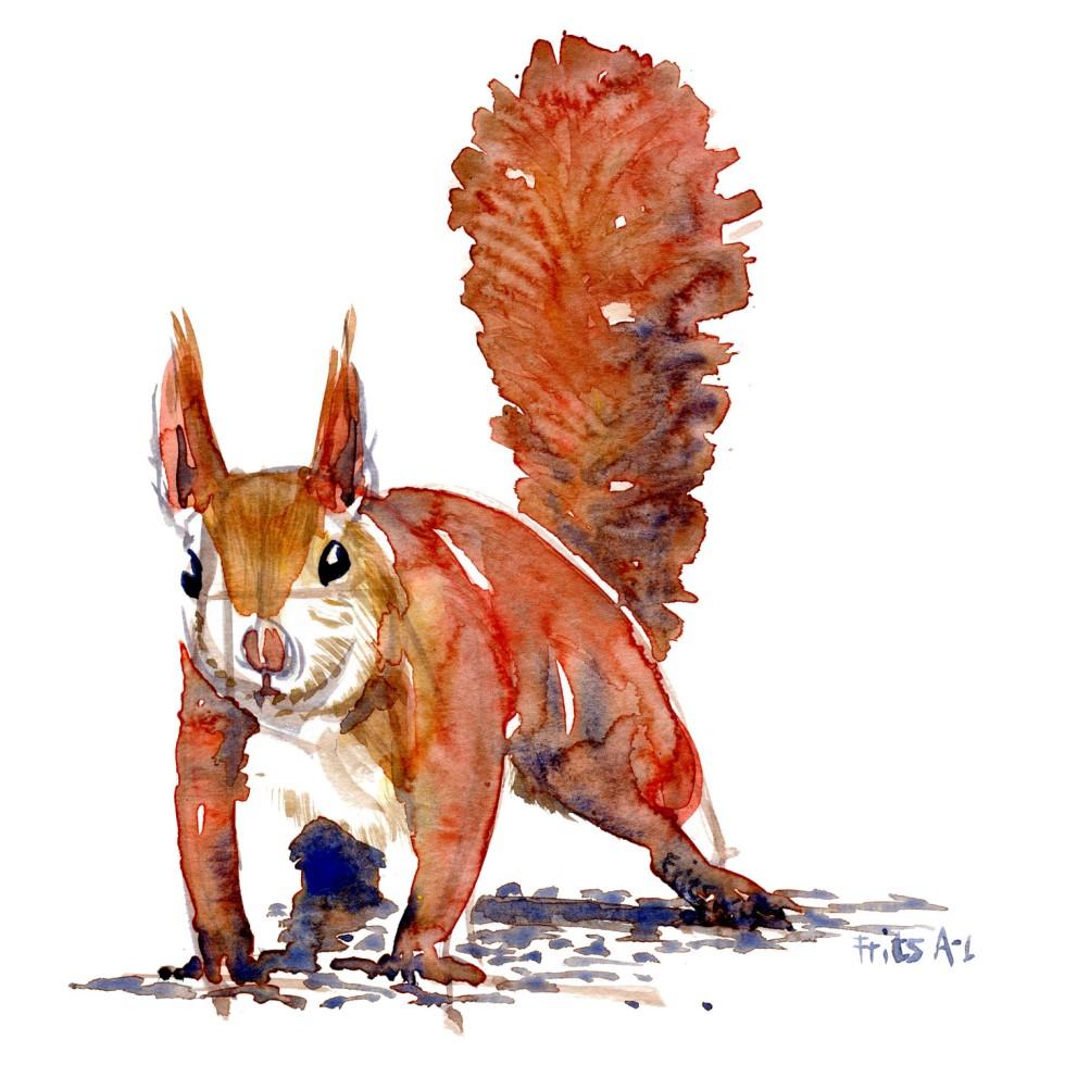 Egern forfra Pattedyr illutration biodiversitet i Danmark. Akvarel af Frits Ahlefeldt