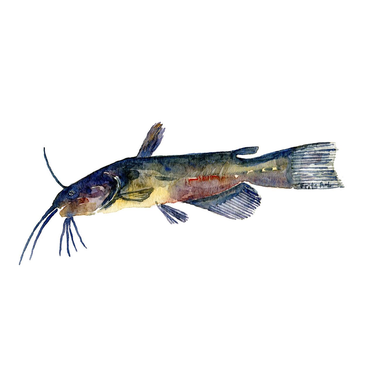 Brun dværg malle Ferskvandsfisk og biodiversitet i Danmark Akvarel af Frits Ahlefeldt
