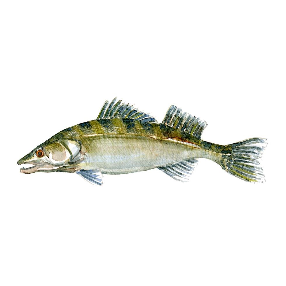 Sandart Ferskvandsfisk og biodiversitet i Danmark Akvarel af Frits Ahlefeldt