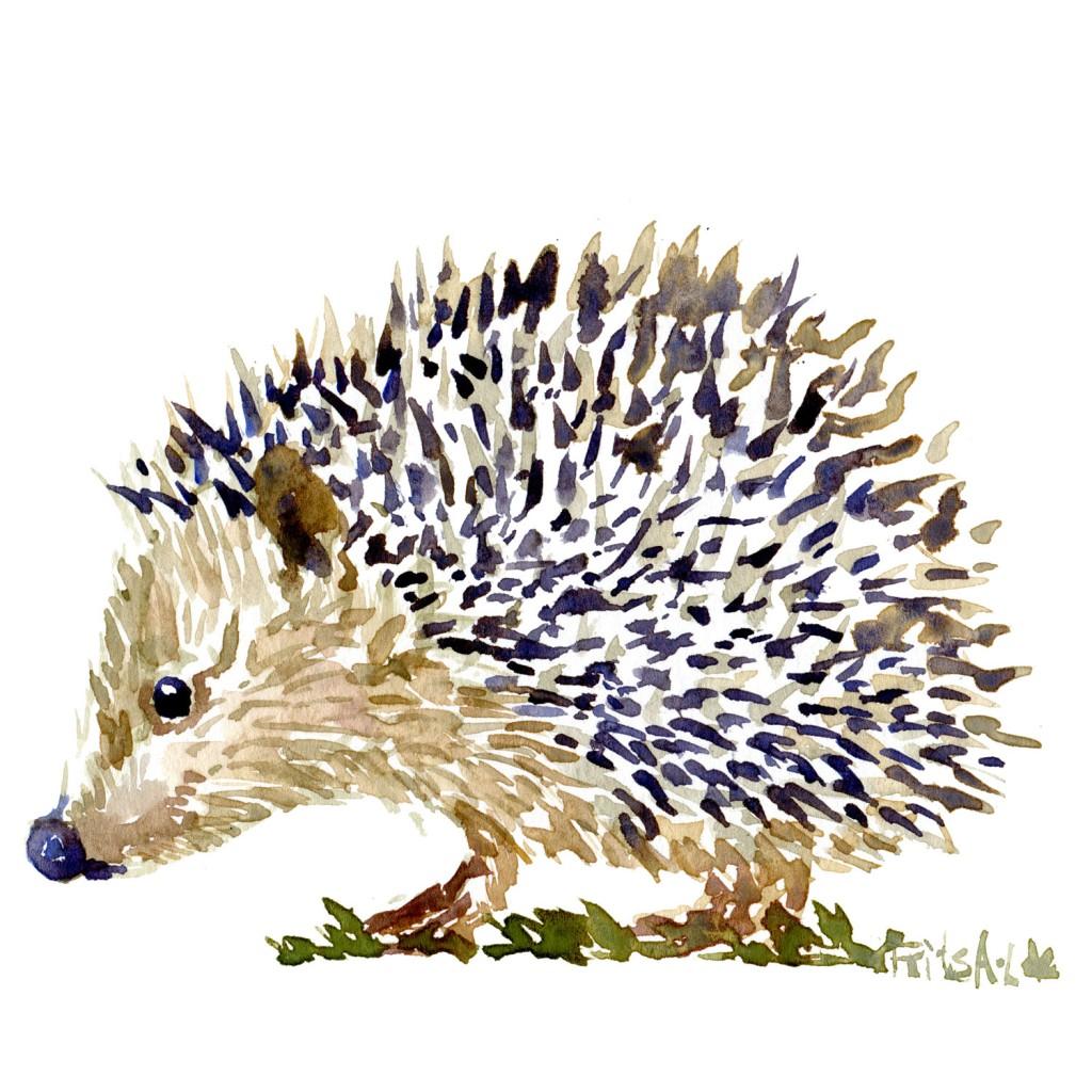 Pindsvin skitse Pattedyr illutration biodiversitet i Danmark. Akvarel af Frits Ahlefeldt