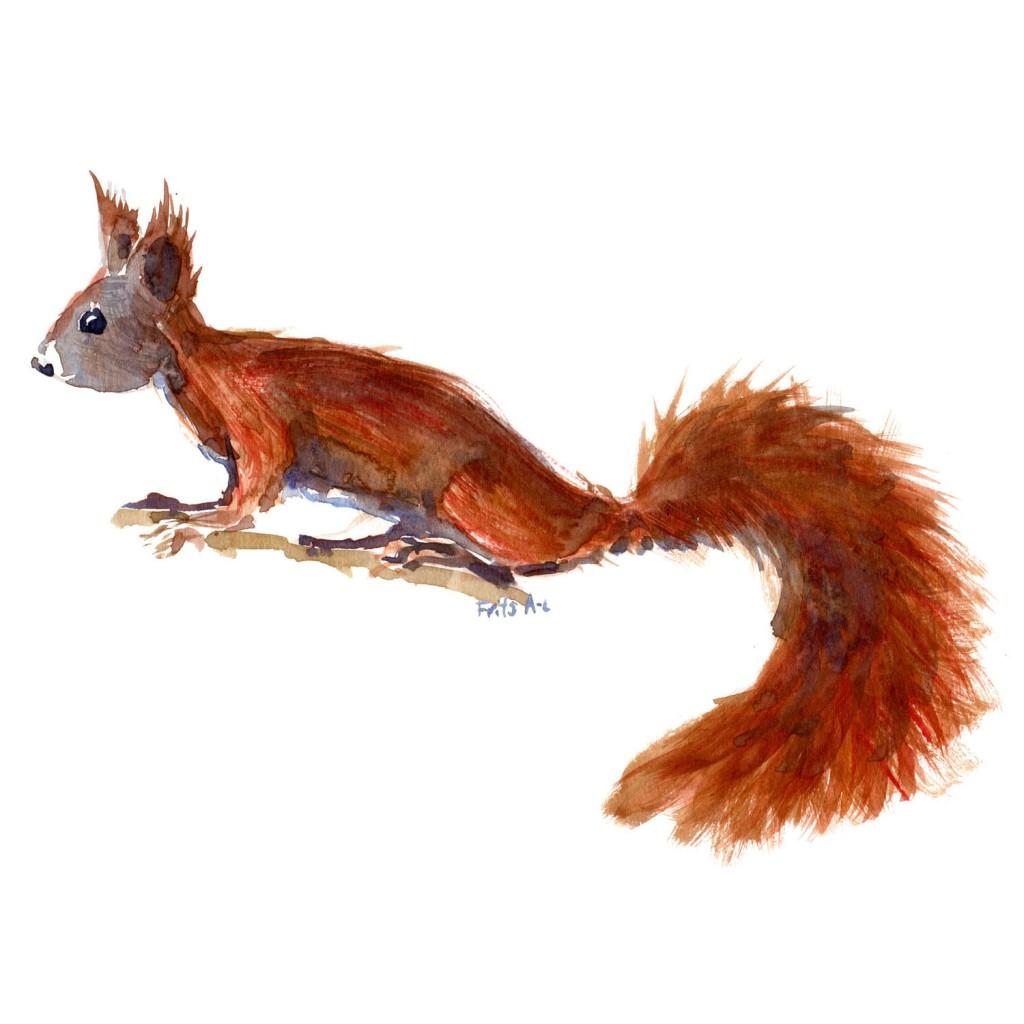 Rødt egern Pattedyr illutration biodiversitet i Danmark. Akvarel af Frits Ahlefeldt