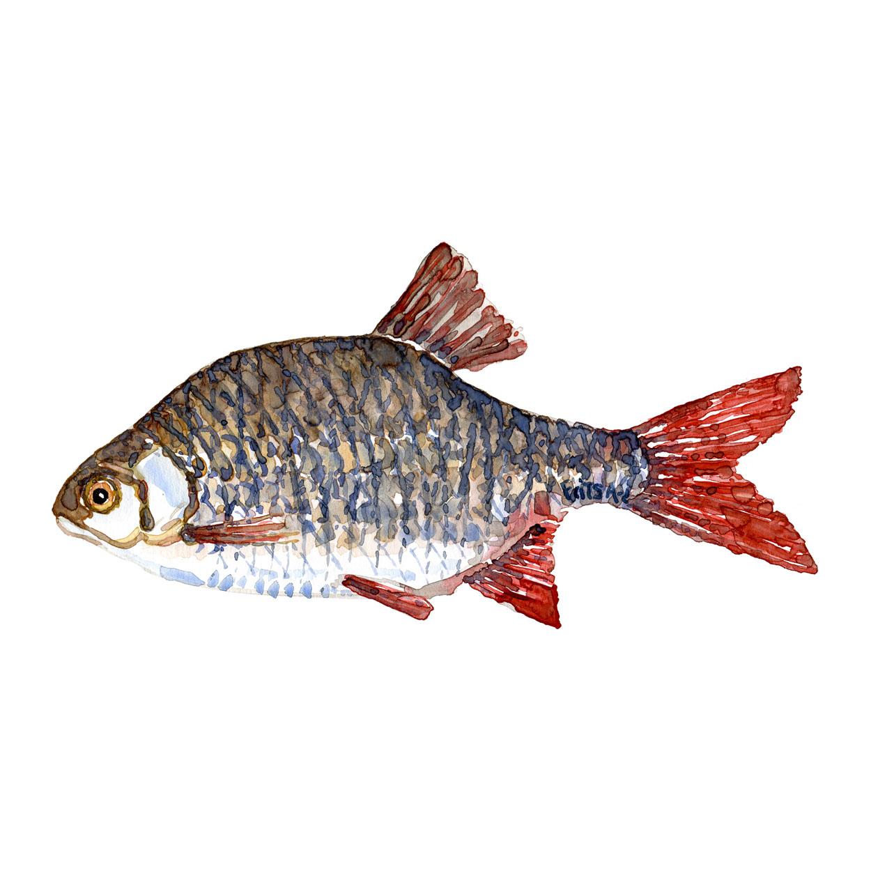 Rudskalle Ferskvandsfisk og biodiversitet i Danmark Akvarel af Frits Ahlefeldt