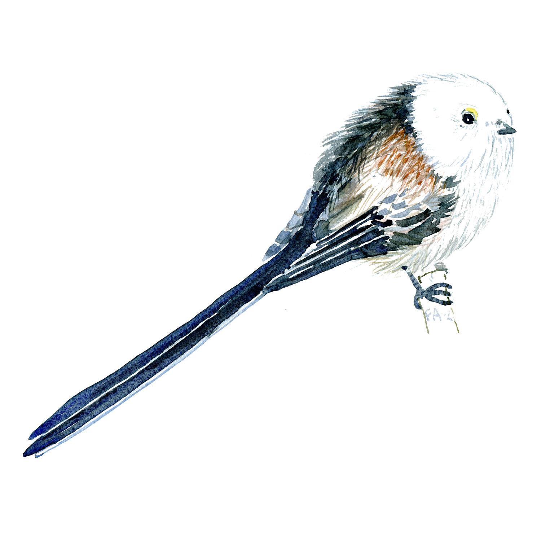 Halemejse fugl - Akvarel illustration af Frits Ahlefeldt, Biodiversitet i Danmark