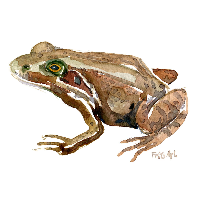 Akvarel af Butsnuet frø. Tegning af Frits Ahlefeldt