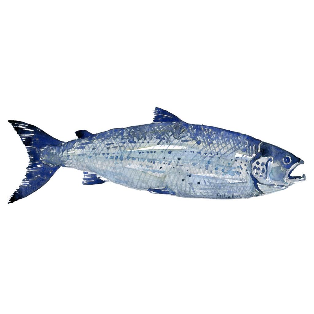 Laks Ferskvandsfisk og biodiversitet i Danmark Akvarel af Frits Ahlefeldt