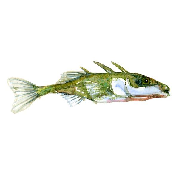 Hundestejle Ferskvandsfisk og biodiversitet i Danmark Akvarel af Frits Ahlefeldt