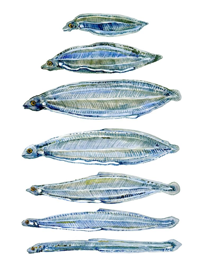 Akvarel af Frits Ahlefeld. Faser af ålens liv.