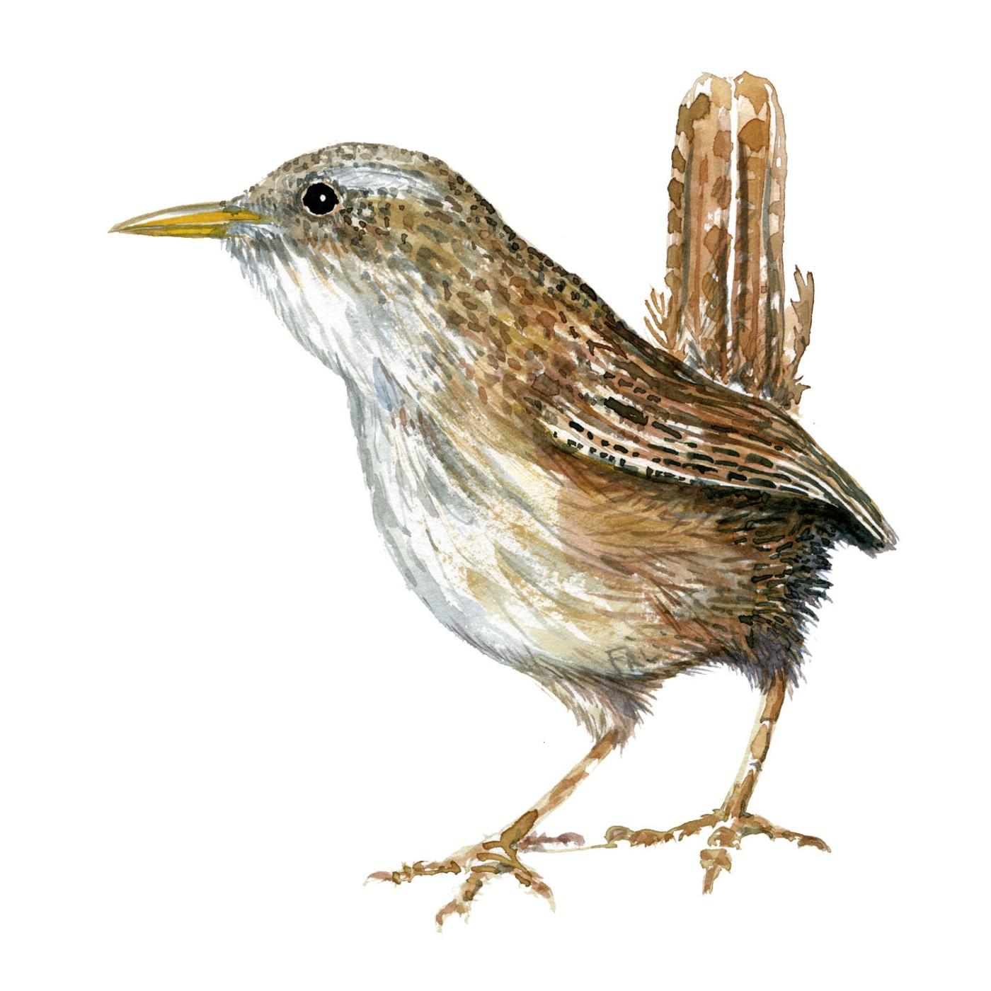 Gærdesmutte fugle illustration. Akvarel af Frits Ahlefeldt. Biodiversitet i Danmark