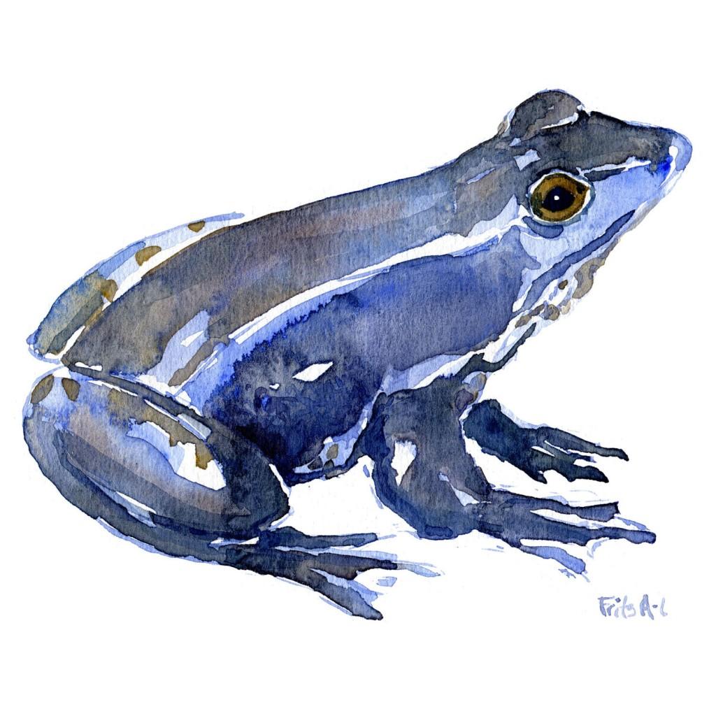 Blå spidssnudet frø - Akvarel af Frits Ahlefeldt