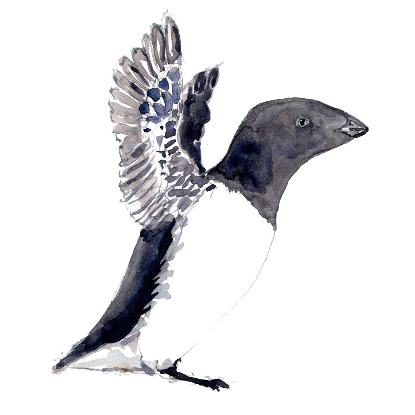 Alk fugle akvarel af Frits Ahlefeldt, Biodiversitet i Danmark illustration