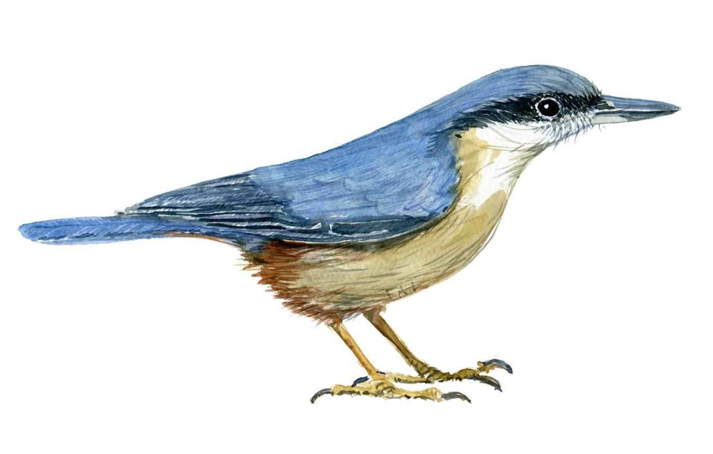Spætmejse fugle illustration. Akvarel af Frits Ahlefeldt. Biodiversitet i Danmark