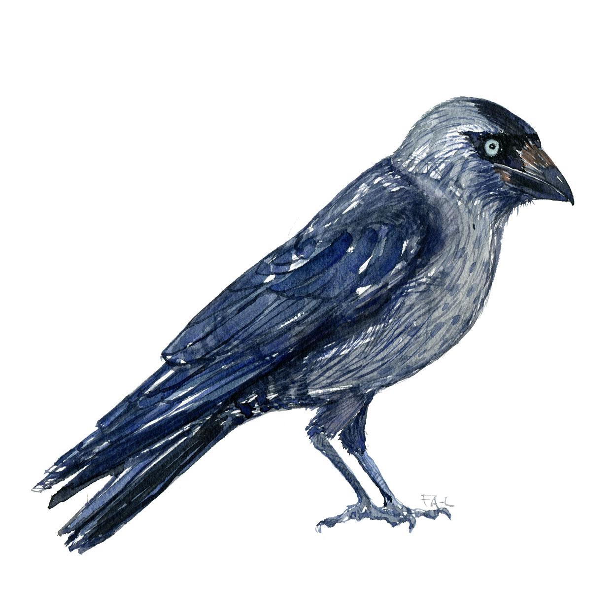 Allike fugl, akvarel af Frits Ahlefeldt biodiversitet i Danmark