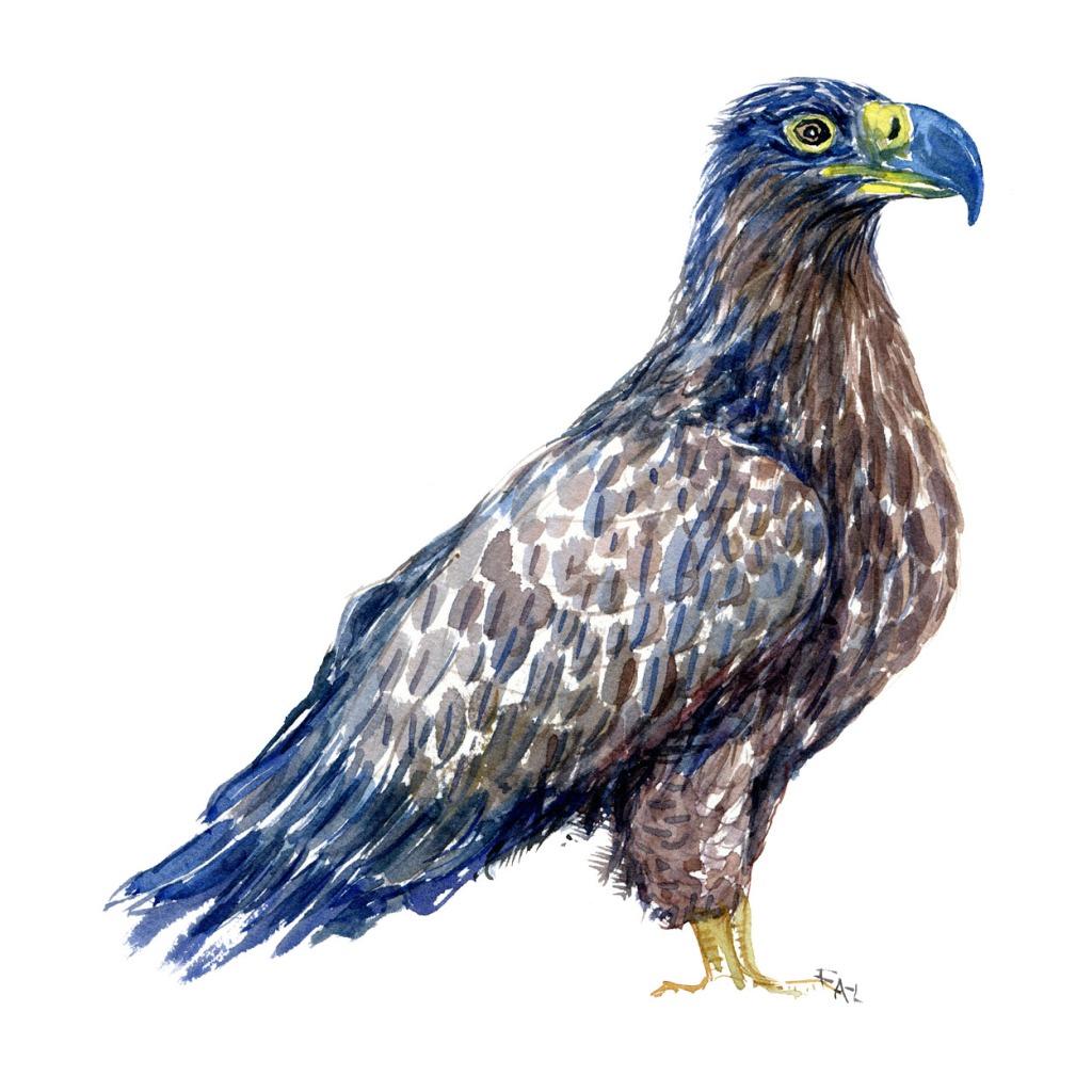 Havorn fugle akvarel af Frits Ahlefeldt, Biodiversitet i Danmark illustration
