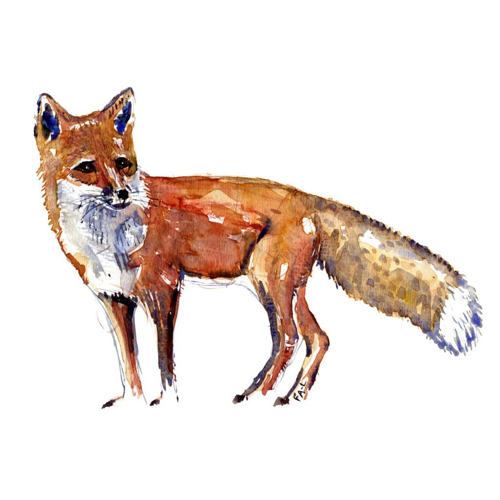 Raev Pattedyr illutration biodiversitet i Danmark. Akvarel af Frits Ahlefeldt