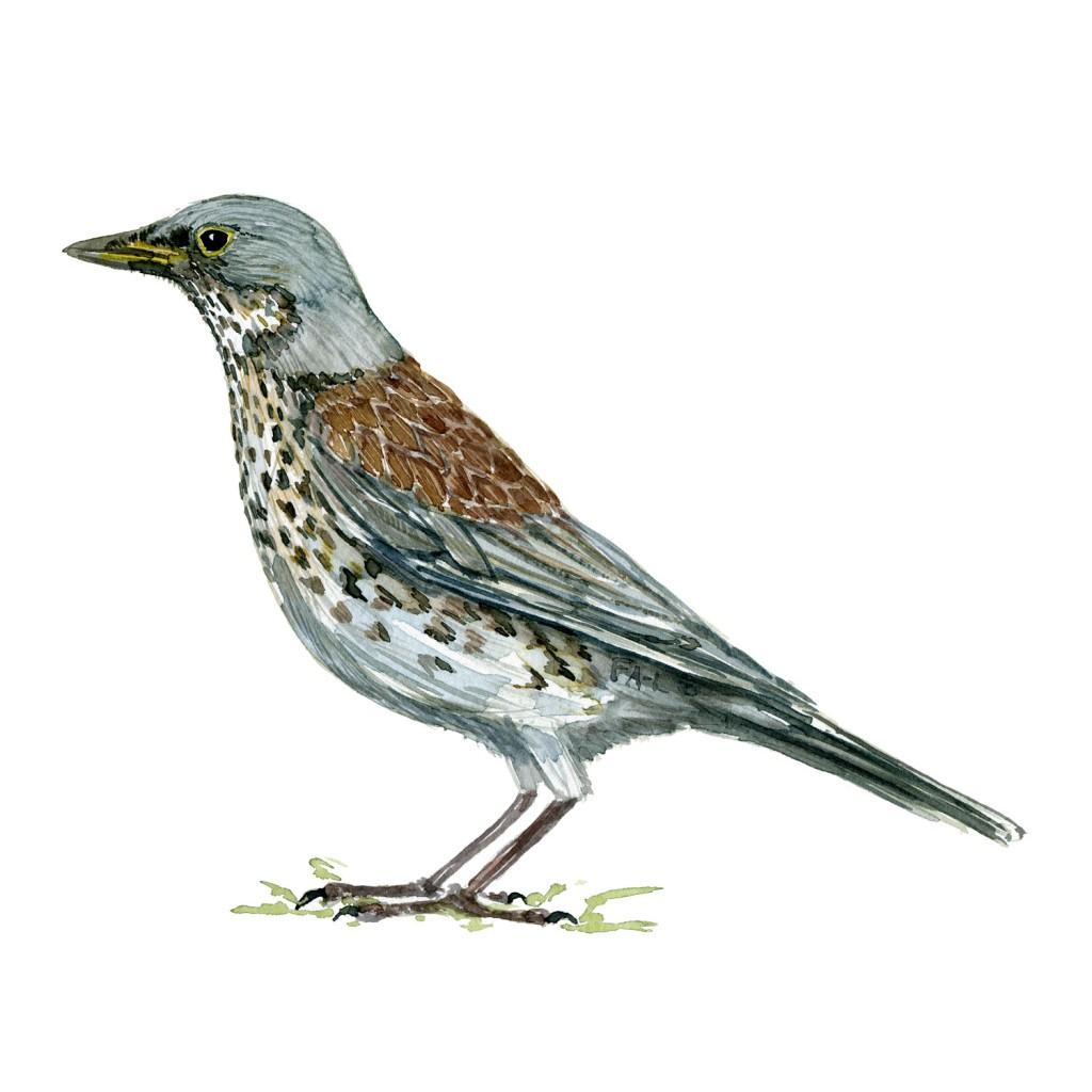 Sjagger fugle illustration. Akvarel af Frits Ahlefeldt. Biodiversitet i Danmark