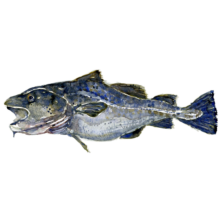 Torsk saltvandsfisk illustration af biodiversitet i Danmark. Akvarel af Frits Ahlefeldt