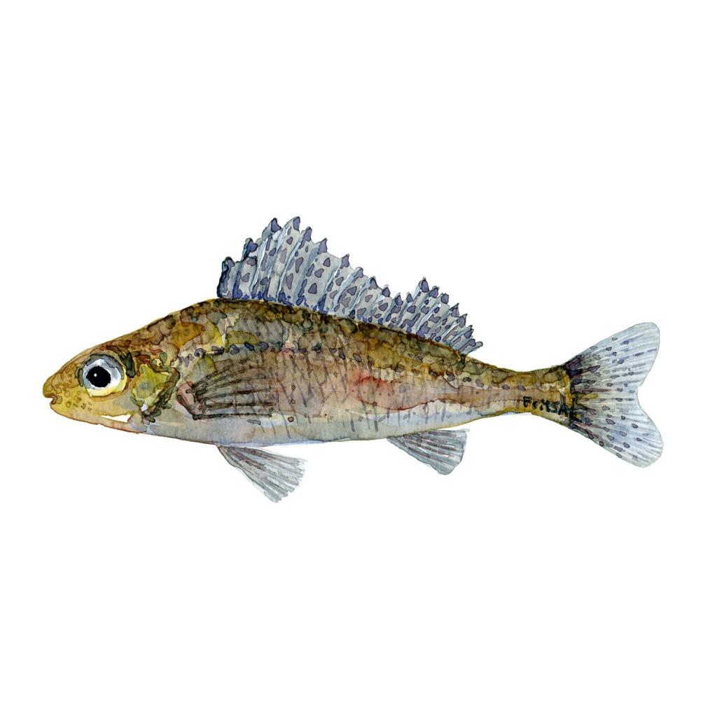 Hork Ferskvandsfisk og biodiversitet i Danmark Akvarel af Frits Ahlefeldt