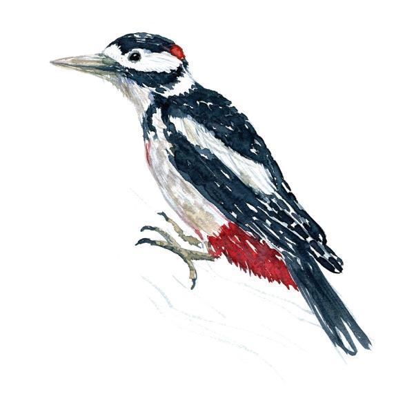 Flagspætte fugl - Akvarel illustration af Frits Ahlefeldt, Biodiversitet i Danmark
