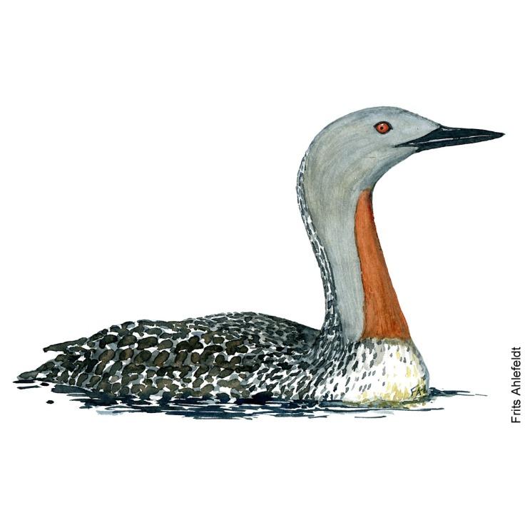 Roedstrubet lom - Red-breasted loon Bird watercolor. Fugle akvarel af Frits Ahlefeldt