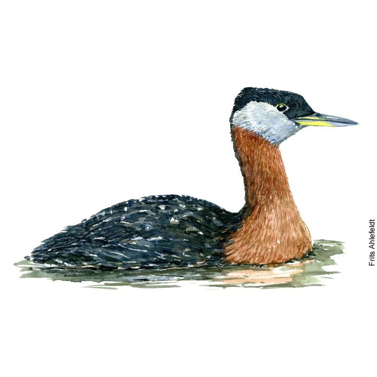 Graastrubet lappedykker - Red-necked grebe Bird watercolor. Fugle akvarel af Frits Ahlefeldt