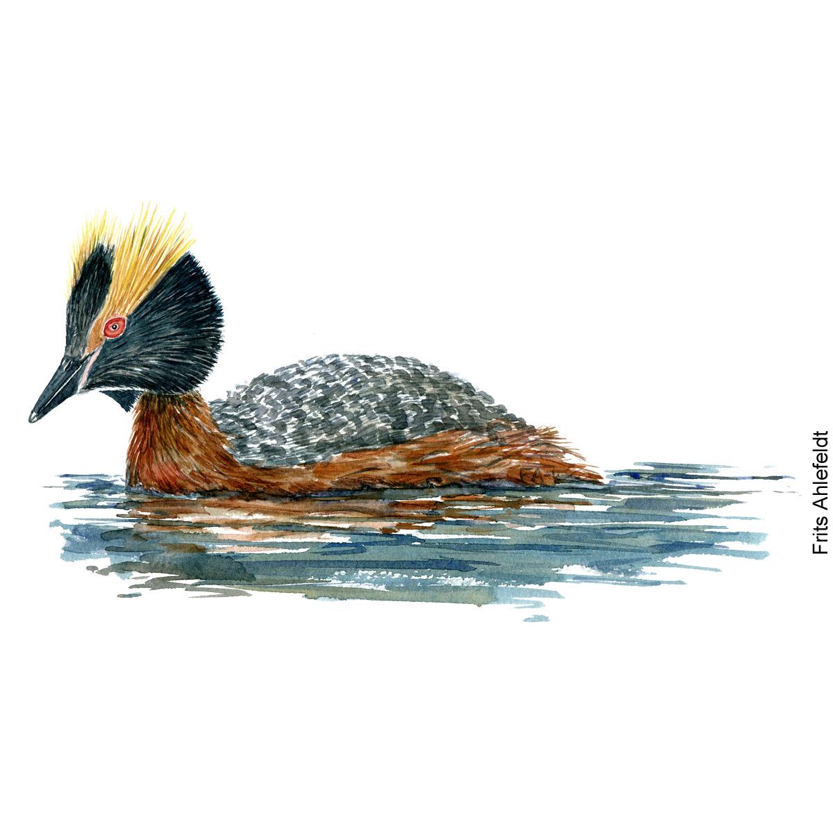 Nordisk lappedykker - Horned grebe Bird watercolor. Fugle akvarel af Frits Ahlefeldt