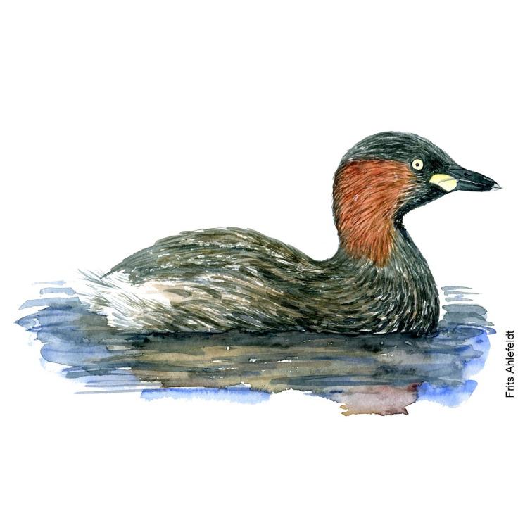 Lille lappedykker - Little grebe Bird watercolor. Fugle akvarel af Frits Ahlefeldt