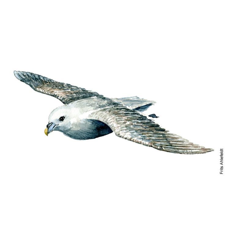 Mallemuk - Northern fulmar Bird watercolor. Fugle akvarel af Frits Ahlefeldt