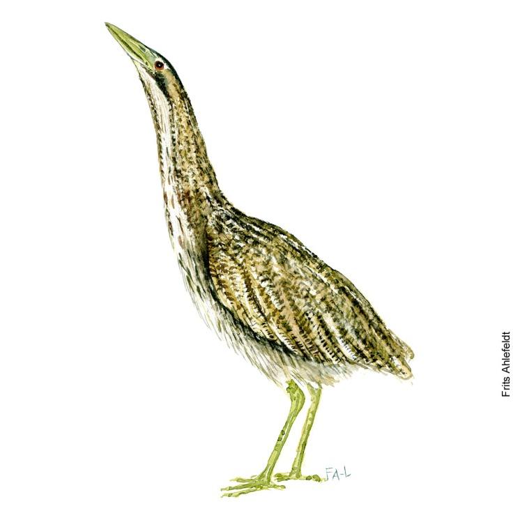 Rørdrum - Eurasian bittern Bird watercolor. Fugle akvarel af Frits Ahlefeldt
