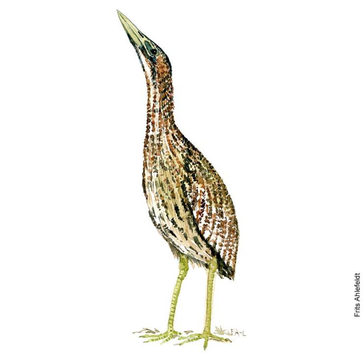 Roerdrum - Eurasian bittern Bird watercolor. Fugle akvarel af Frits Ahlefeldt