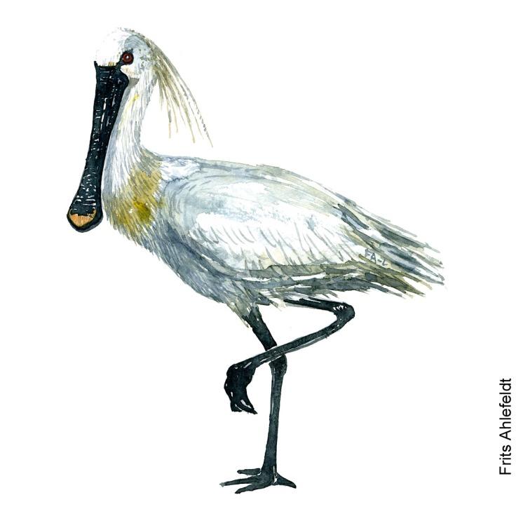 Skestork - Eurasian spoonbill Bird watercolor. Fugle akvarel af Frits Ahlefeldt