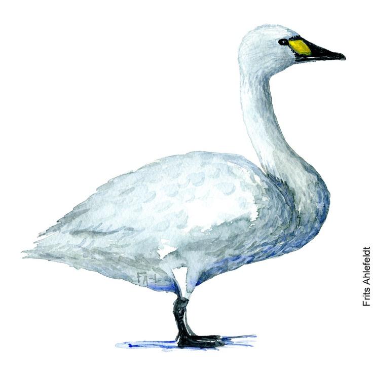 dw00084 pibesvane - Tundra swan Bird watercolor. Fugle akvarel af Frits Ahlefeldt