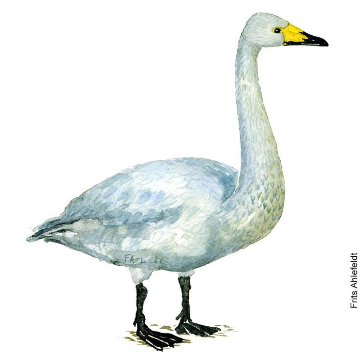 dw00085 Sangsvane - Whooper goose Bird watercolor. Fugle akvarel af Frits Ahlefeldt