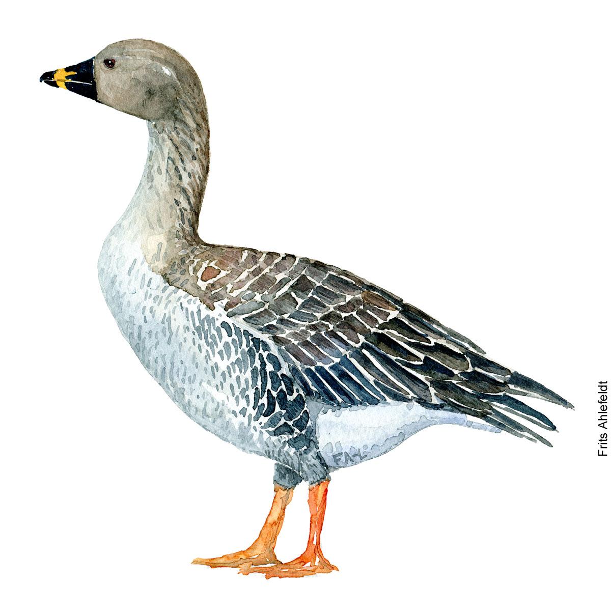 saedgaas - Bean-goose Bird watercolor. Fugle akvarel af Frits Ahlefeldt