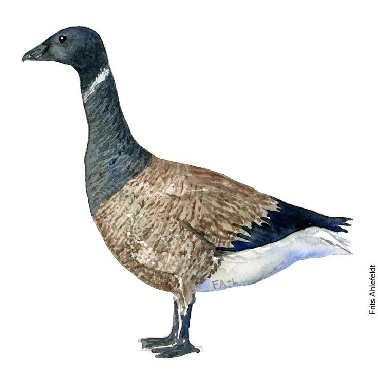 Knortegaas - Black brant goose Bird watercolor. Fugle akvarel af Frits Ahlefeldt