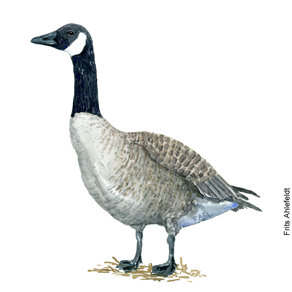 Canada gaas - goose Bird watercolor. Fugle akvarel af Frits Ahlefeldt