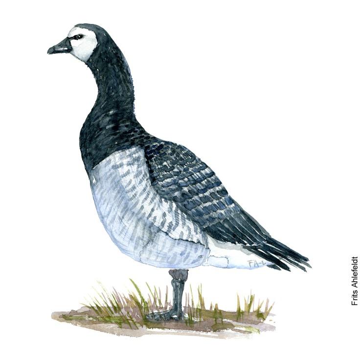 Bramgaas - Barnacle goose Bird watercolor. Fugle akvarel af Frits Ahlefeldt