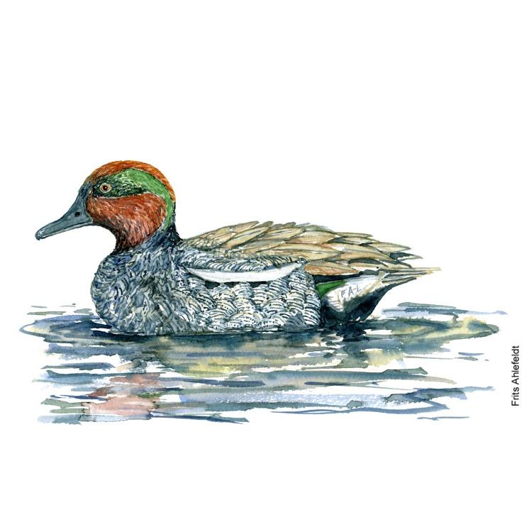 Krikand - Eurasian teal duck Bird watercolor. Fugle akvarel af Frits Ahlefeldt