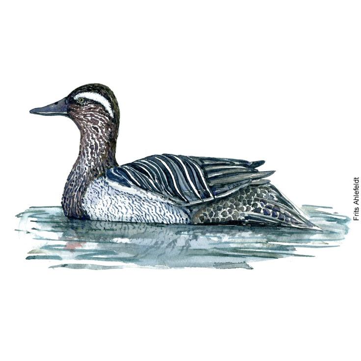 Atlingand - Gaganey duck Bird watercolor. Fugle akvarel af Frits Ahlefeldt