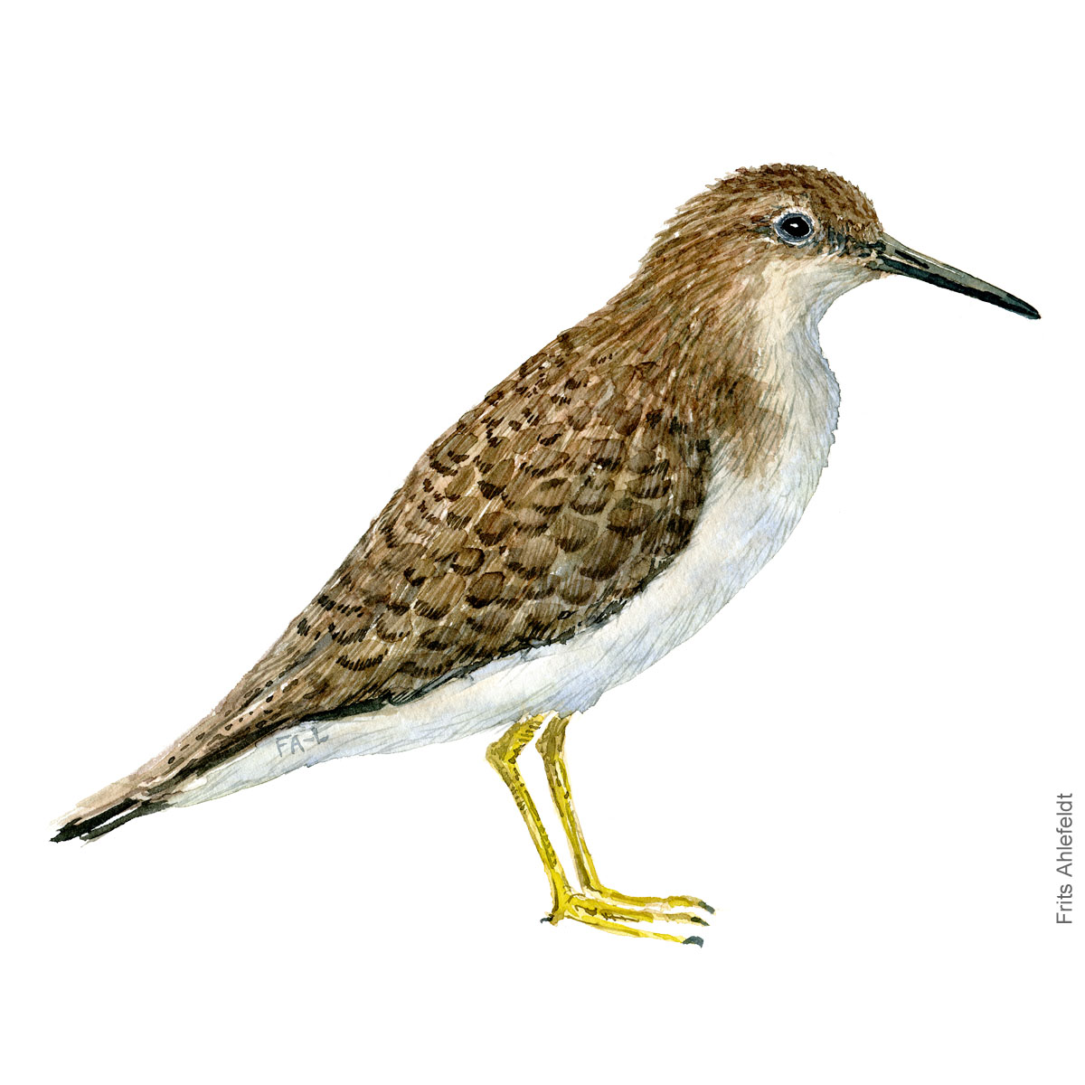 Mudderklire - Common sandpiper Bird watercolor. Fugle akvarel af Frits Ahlefeldt