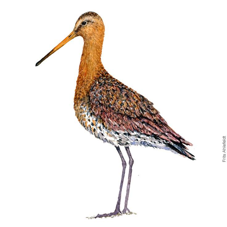 Stor kobbersneppe - Black tailed godwit Bird watercolor. Fugle akvarel af Frits Ahlefeldt