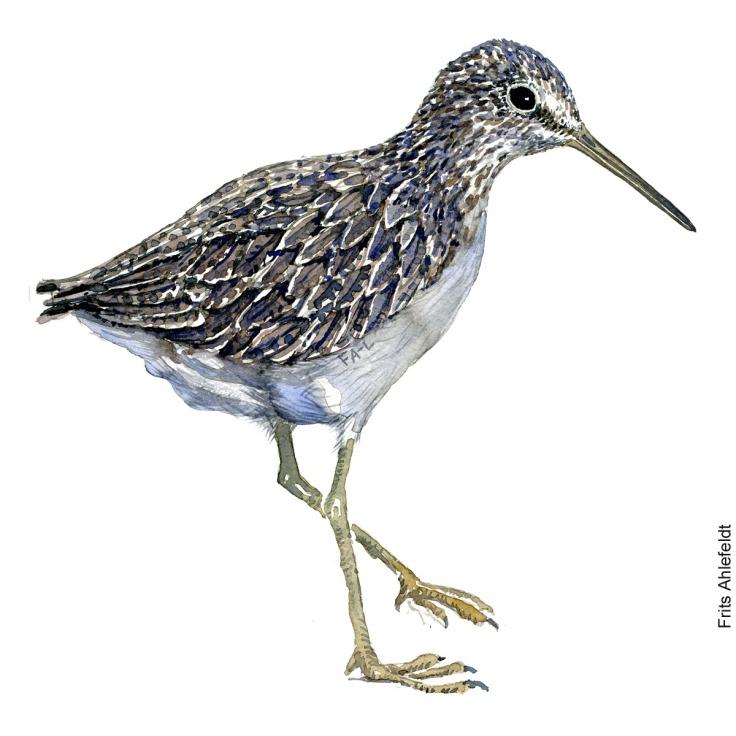 Svaleklire - Green sandpiper Bird watercolor. Fugle akvarel af Frits Ahlefeldt