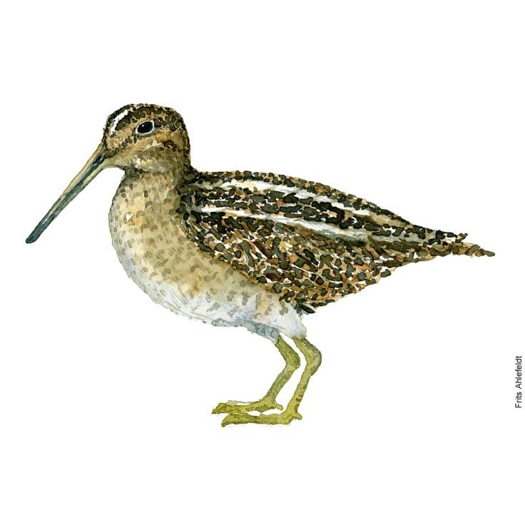 Dobbeltbekasin - Common snipe Bird watercolor. Fugle akvarel af Frits Ahlefeldt