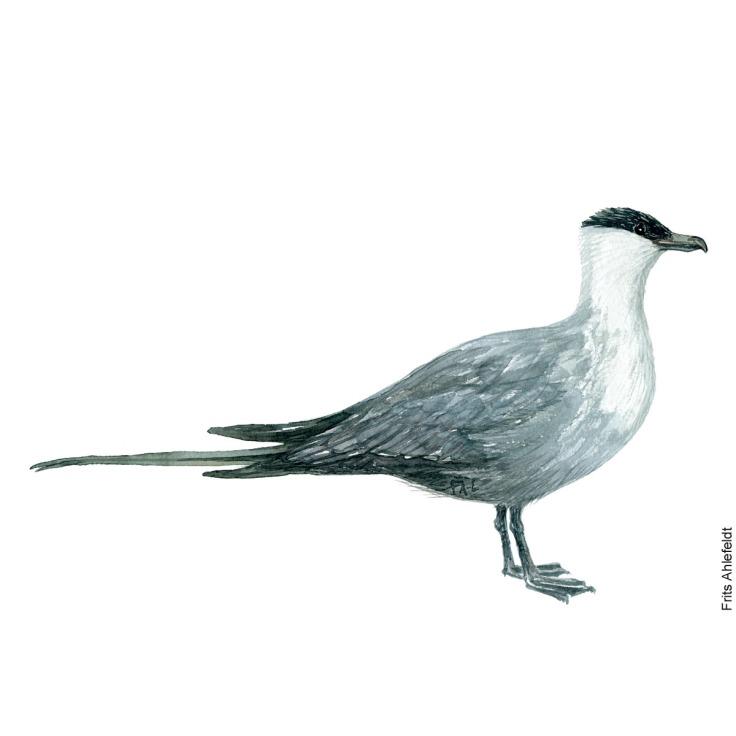 Lille kjove - Long-tailed jaeger Bird watercolor. Fugle akvarel af Frits Ahlefeldt