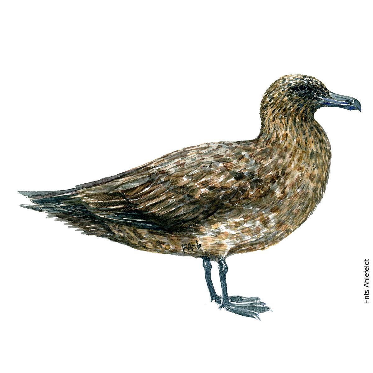 Storkjove - Great skua Bird watercolor. Fugle akvarel af Frits Ahlefeldt