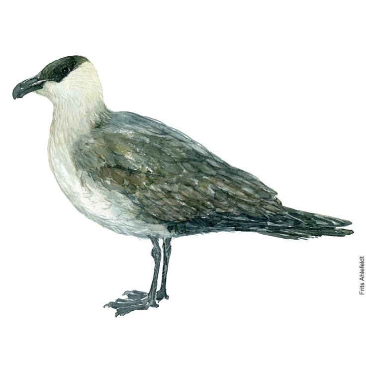 Almindelig kjove - Parasitic jaeger Bird watercolor. Fugle akvarel af Frits Ahlefeldt