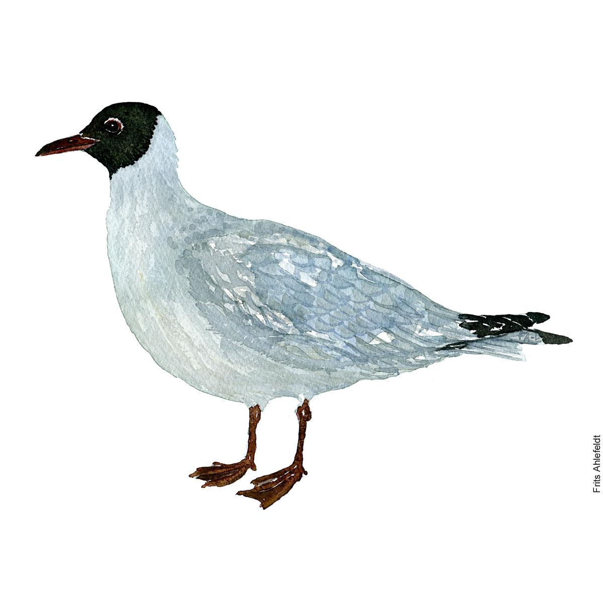 Haettemaage - Black-necked gull Bird watercolor. Fugle akvarel af Frits Ahlefeldt
