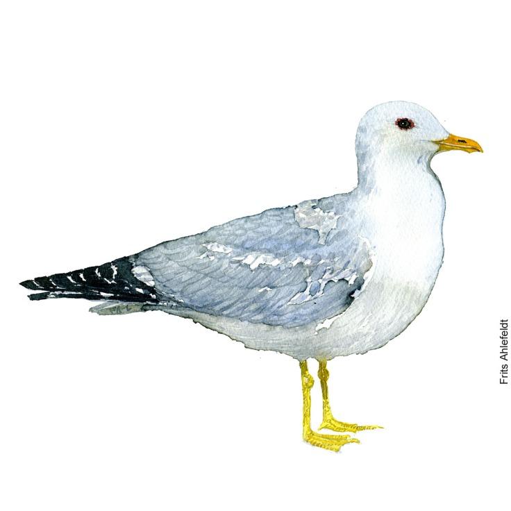Stormmaage - Common gull Bird watercolor. Fugle akvarel af Frits Ahlefeldt