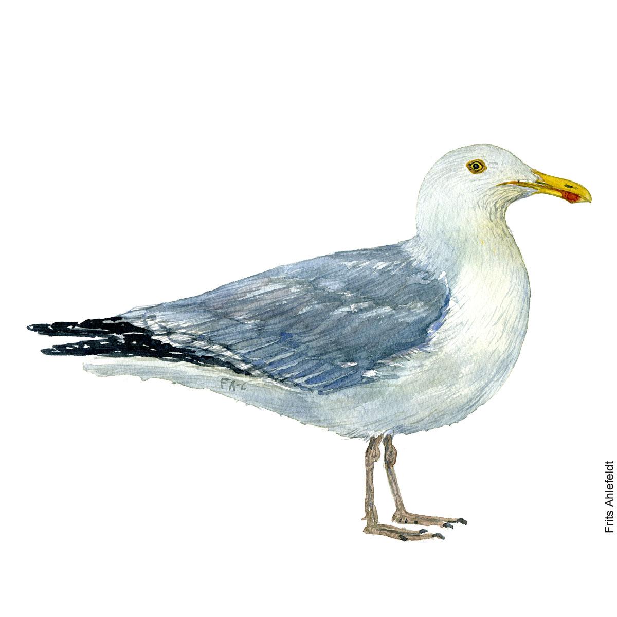 Soelvmaage - European Herring gull Bird watercolor. Fugle akvarel af Frits Ahlefeldt