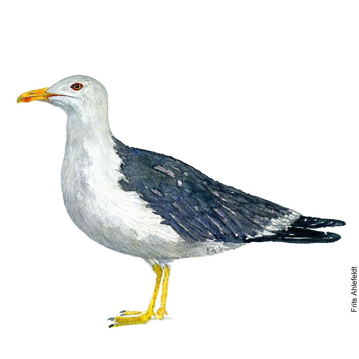Sildemaage - Lesser black backed gull. Bird watercolor. Fugle akvarel af Frits Ahlefeldt